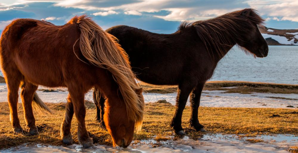 Two typical Icelandic horses